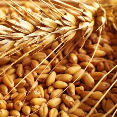 Wheat - Gahu